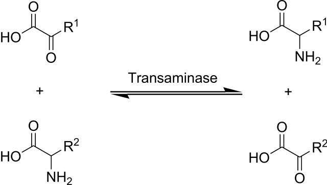 aminotransfer reaction between an amino acid and an alpha-keto acid