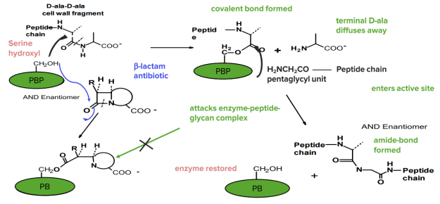 Action of Penicillins