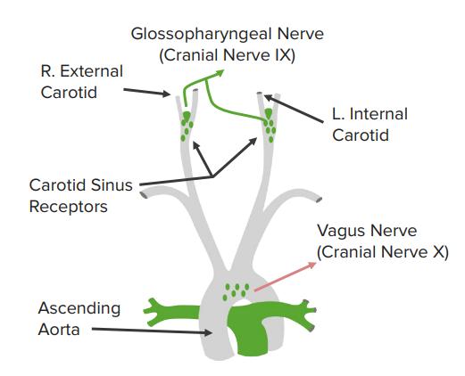 arterial baroreceptors