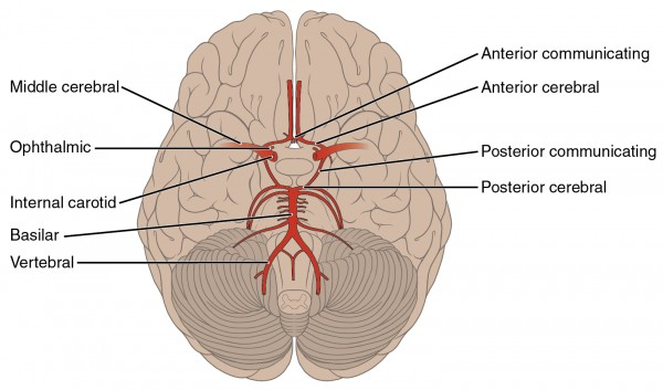 arterial blood supply of the brain