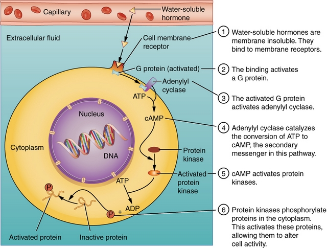 binding water-soluble hormones