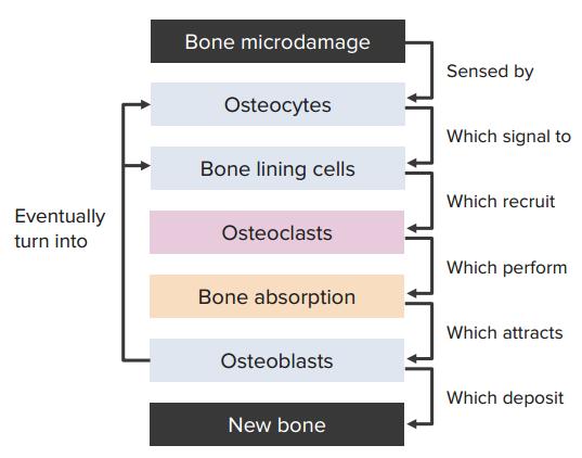 bone-remodeling