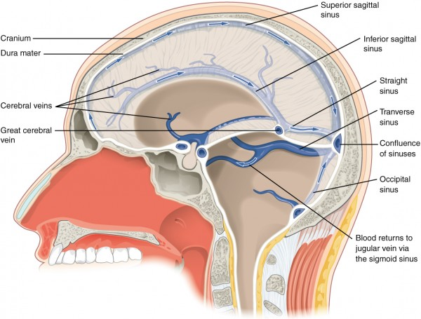 Neuroanatomy: Blood Supply of the Brain | Online Medical Library