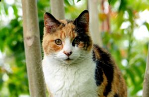 calico-cat-x-inactivation-sex-linked-genetic-disorders