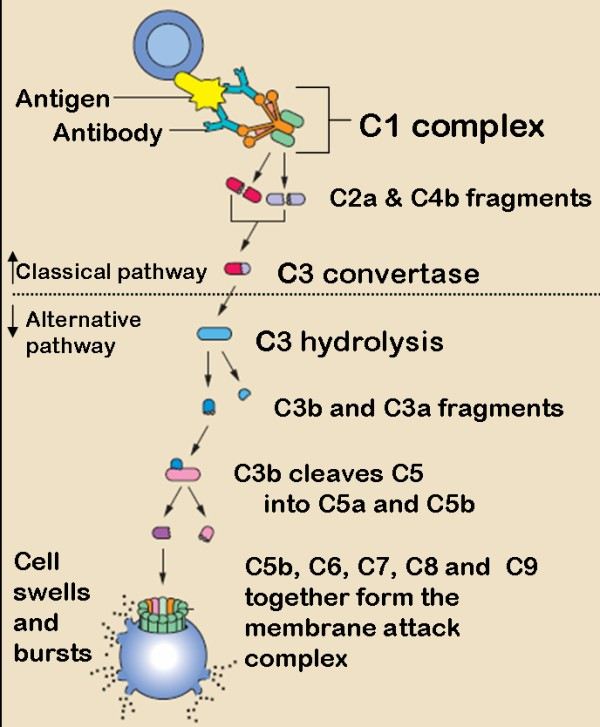 complement cascade pathways