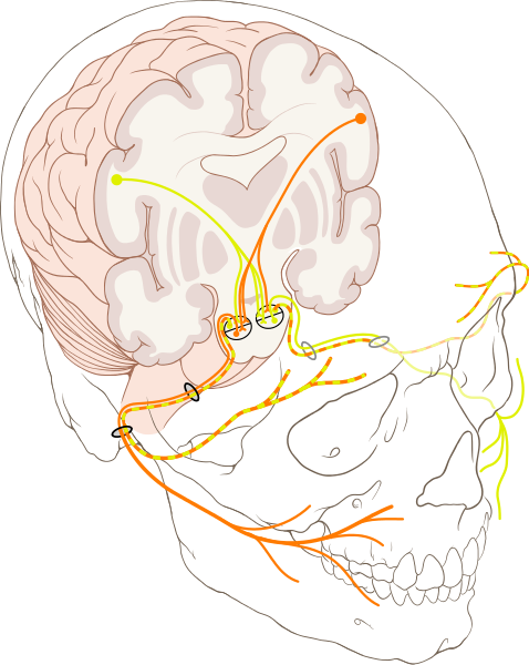 cranial nerve VII 7