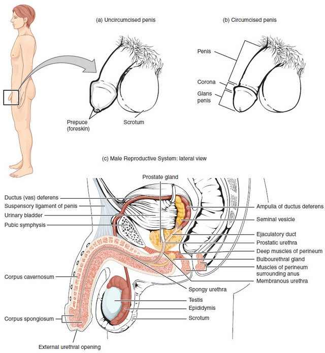 Anatomy And Function Of The Male Urogenital System Lecturio