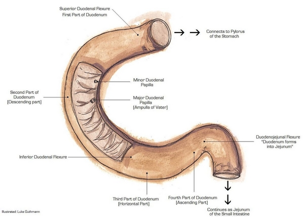 Anatomical illustration using traditional media to display the duodenum.