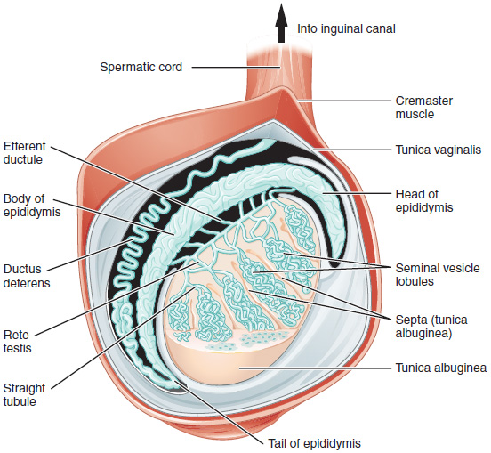 structure of the testis