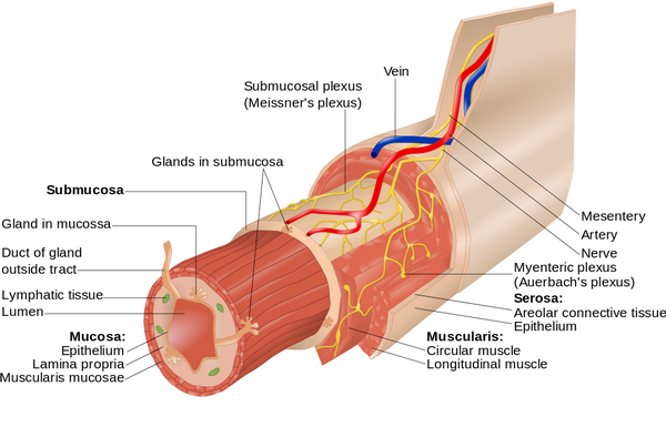 Layers of the Alimentary Canal