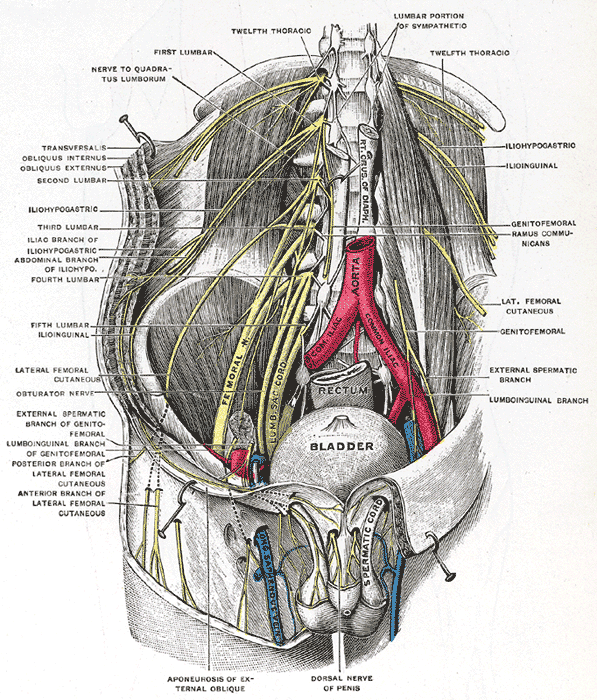 deep and superficial dissection of the lumber plexus