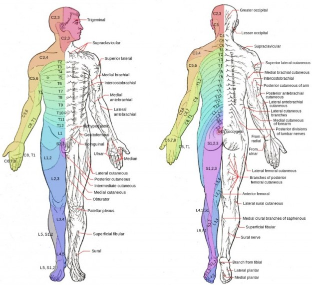 dermatomes and major cutaneous nerves in an anterior and posterior view