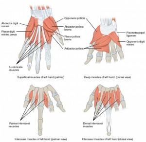 diese abbildung zeigt die muskeln die die hand bewegen