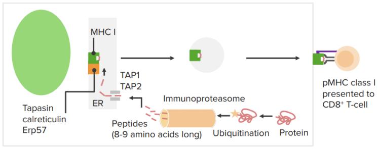 endogenous-antigen-processing-presentation