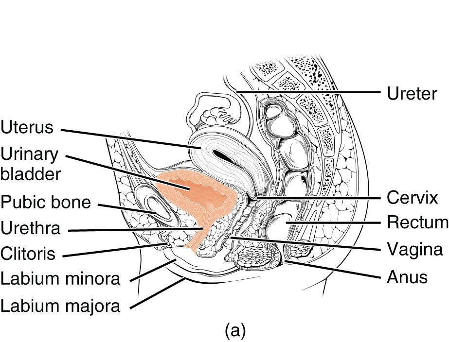 Ureter Urethra Urinary Bladder The Urogenital System Lecturio