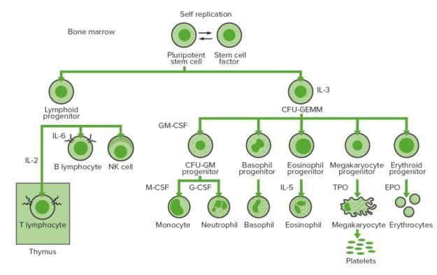 hematopoietic