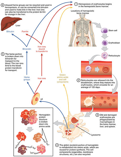 life-cycle of the erythrocytes