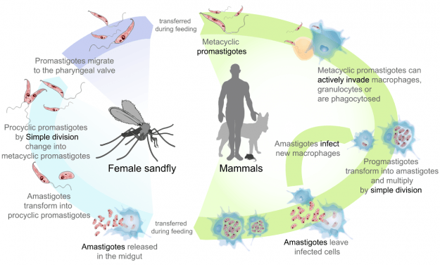 Life cycle of the parasites from the genus Leishmania