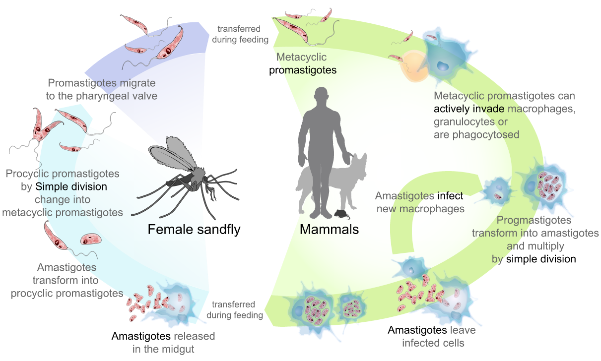 a leishmania paraziták biológiája