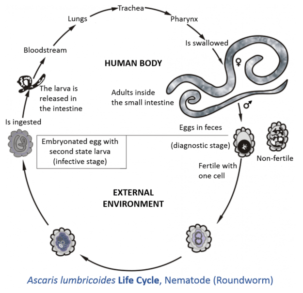 Ascaris lumbricoides life cycle