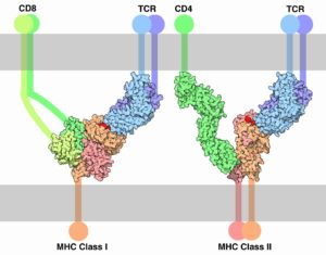 T Cell Receptor complexed with MHC I and II