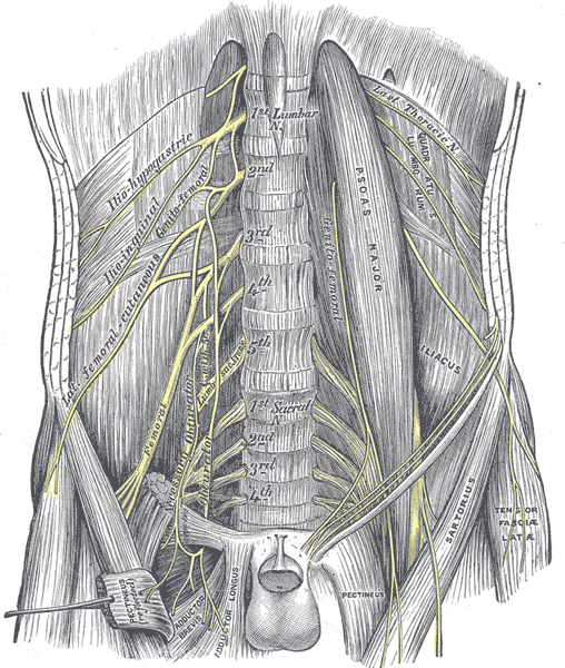 Lumbosacral Plexus — Anatomy and Nerves | Medical Library