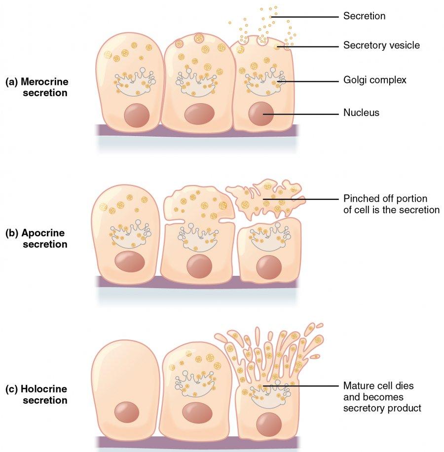 merocrine apocrine and holocrine secretion