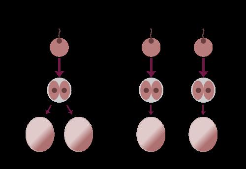 monozygotisch-und-dizygotische-zwillinge-unterschied