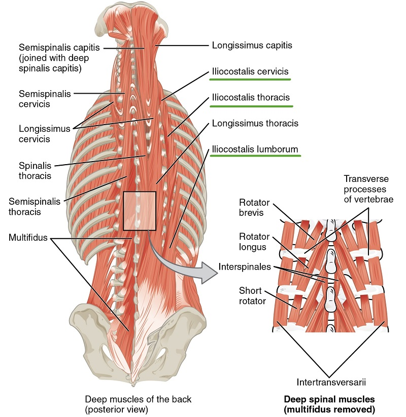 Intrinsic back muscles anatomy of the torso medical library image deep muscles of the back posterior view by phil schatz license cc by 40 ccuart Image collections