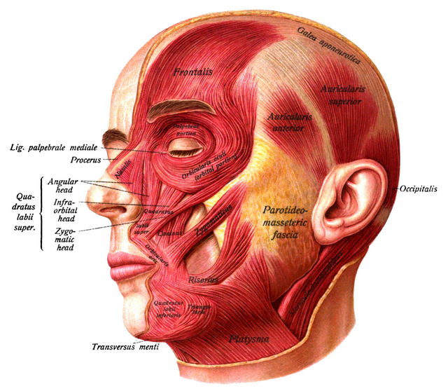 The ventral neck muscles | Lecturio Online Medical Library