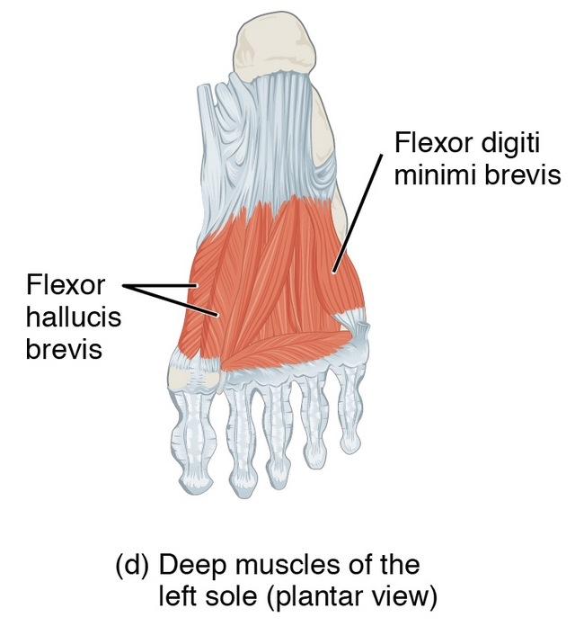 part of Intrinsic Muscles of the Foot