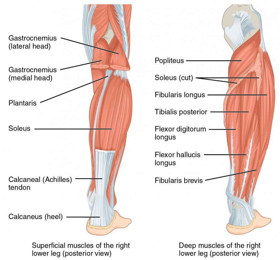 Muscles of the Lower Leg and Foot | Online Medical Libtary