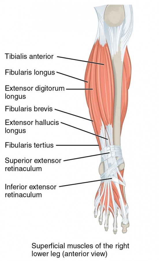 Muscles Of The Lower Leg And Foot Online Medical Libtary