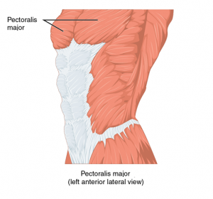 pectoralis major left anterior lateral view