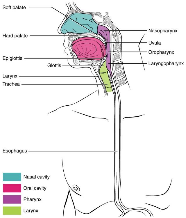 pharynx of human