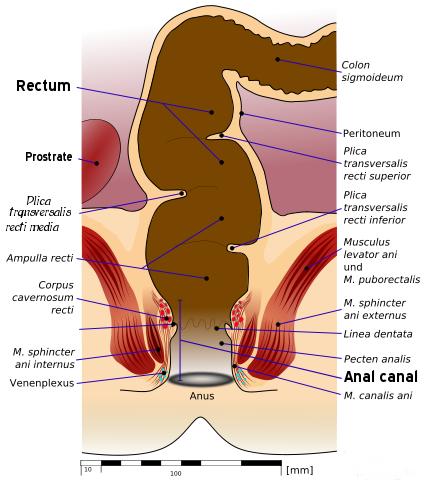 rectum anatomy