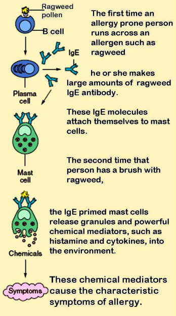 role of mast cells in developing an allergy