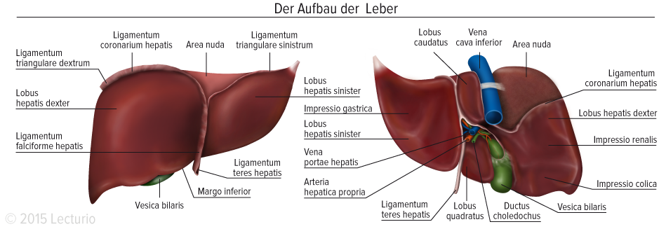 Detoxication Function Of The Liver