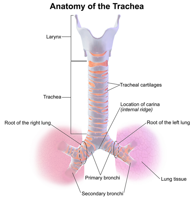 structure of the trachea