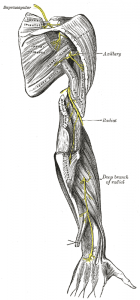 """The suprascapular, axillary, and radial nerves"" by Henry Gray."