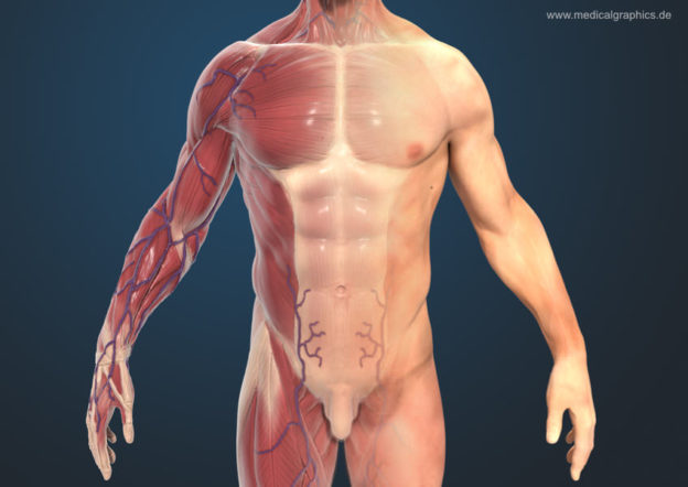 Muscle system man