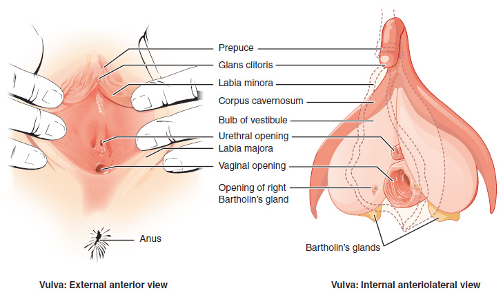 woman's external sexual organs